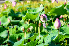 Seedpod of the lotus and  Lotus Stock Image