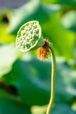 Seedpod of the lotus Royalty Free Stock Images