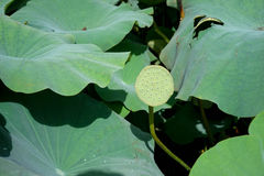 Seedpod of the lotus Stock Photos