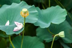 Seedpod of the lotus and the withered lotus stock images