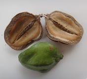 Seedpod partido y vaina inmaduros - Disco-formado Imagen de archivo libre de regalías
