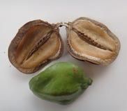 Seedpod partido y vaina inmaduros - Disco-formado Foto de archivo