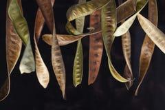 seedpods Arkivfoto