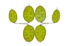 Seedpods anuales de la honradez Foto de archivo