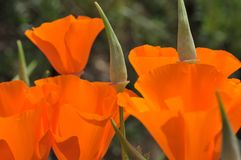 Seedpods of the California Poppy Eschscholzia californica Close Up Royalty Free Stock Photos