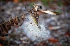 Seedpods del milkweed de la mariposa Imagenes de archivo