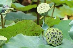 Seedpods van Lotus-bloem Royalty-vrije Stock Afbeelding