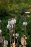 Seedpods van papaverbloemen Stock Afbeelding