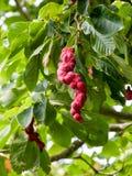 Seedpot av en magnolia Campbellii Royaltyfri Bild