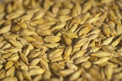 Seeds. Barley seeds Stock Image