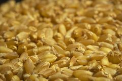 Seeds. Wheat seeds Royalty Free Stock Photo