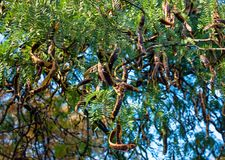 Seeds of acacia in the pods on the branches of a tree. Against the blue sky Stock Photography