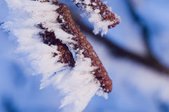 Seeds of alder with frost Royalty Free Stock Photography