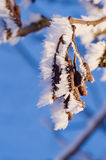 Seeds of alder with ice Stock Photography