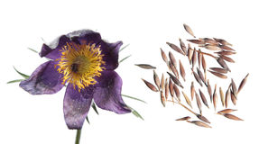 Seeds And Flowers Of Eastern Pasqueflower Or Pulsatilla Patens Isolated On White Background Stock Images