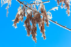 Seeds of an ash-tree. Seeds of an ash-tree (Fraxinus excelsior, or European Ash stock photography