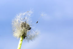 Seeds of blowball fly. The blowballs seeds fly on the wind Royalty Free Stock Photos