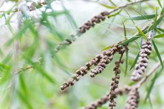 Seeds of the creek or weeping bottlebrush. Seeds of the weeping bottlebrush or creek bottlebrush tree Royalty Free Stock Image