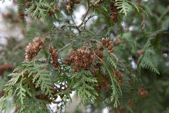 Seeds of cypress Royalty Free Stock Photo