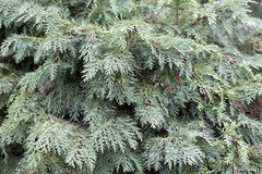 Seeds of cypress Royalty Free Stock Images