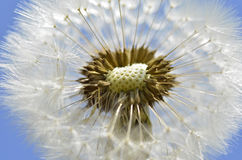Seeds of dandelion Stock Images