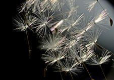 Seeds of dandelion Stock Photo