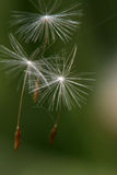 The seeds of the dandelion. Become from the wind a road-blown Stock Photos