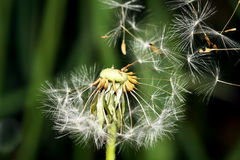 Seeds of a dandelion broken by a wind largely Royalty Free Stock Image