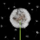 Seeds of a dandelion are carried by a wind Royalty Free Stock Photo