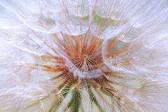 Seeds of a dandelion closeup Stock Images