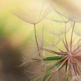 Seeds of a dandelion closeup Stock Photo