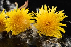 Seeds of a dandelion on a dark table. Dandelion with drops of water royalty free stock photography