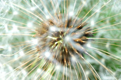 Seeds of the dandelion flower Stock Photos