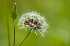 The seeds of dandelion Stock Image