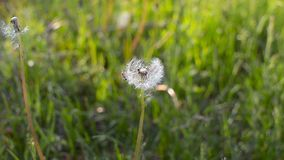 Seeds of dandelion the wind blows. Green grass in the summer park. Sunny day stock video footage