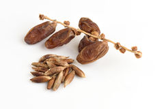 Seeds and Date Palm (Phoenix dactylifera). Royalty Free Stock Photography
