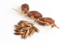 Seeds and Date Palm (Phoenix dactylifera). Royalty Free Stock Images