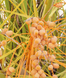 Seeds of dates Royalty Free Stock Image