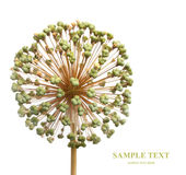 Seeds of a decorative allium Royalty Free Stock Images