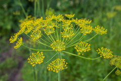 Seeds of dill Stock Photo