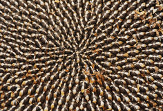 Seeds in Dried Sunflower Head Royalty Free Stock Photos