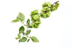 Seeds of Elm. Seeds and leaves of Elm,ulmus stock photo