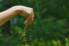 Seeds falling from a hand on green background. Hand dropping many seeds on green background Stock Photos