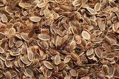 Seeds of fennel Stock Image