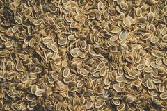 Seeds of fennel seeds closeup stock image