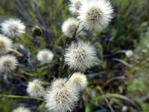 Seeds of field asters. Autumnal meadow Stock Photography