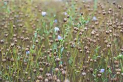 Seeds of a flax field royalty free stock photo