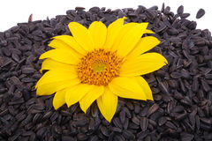 Seeds and flower sunflower Stock Image