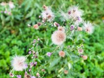 Seeds and flowers of Creeping Thistle in summer. Seeds and flowers of Creeping Thistle plant in Timiryazevskiy park of Moscow on summer day stock images