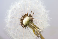 Seeds of fluffy white dandelion abstract macro photo Royalty Free Stock Photo